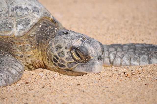 sea turtle resting on beach