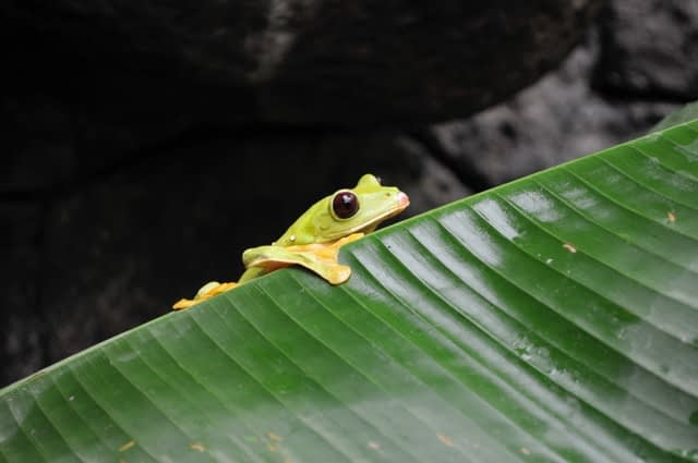 frog in rainforest costa rica