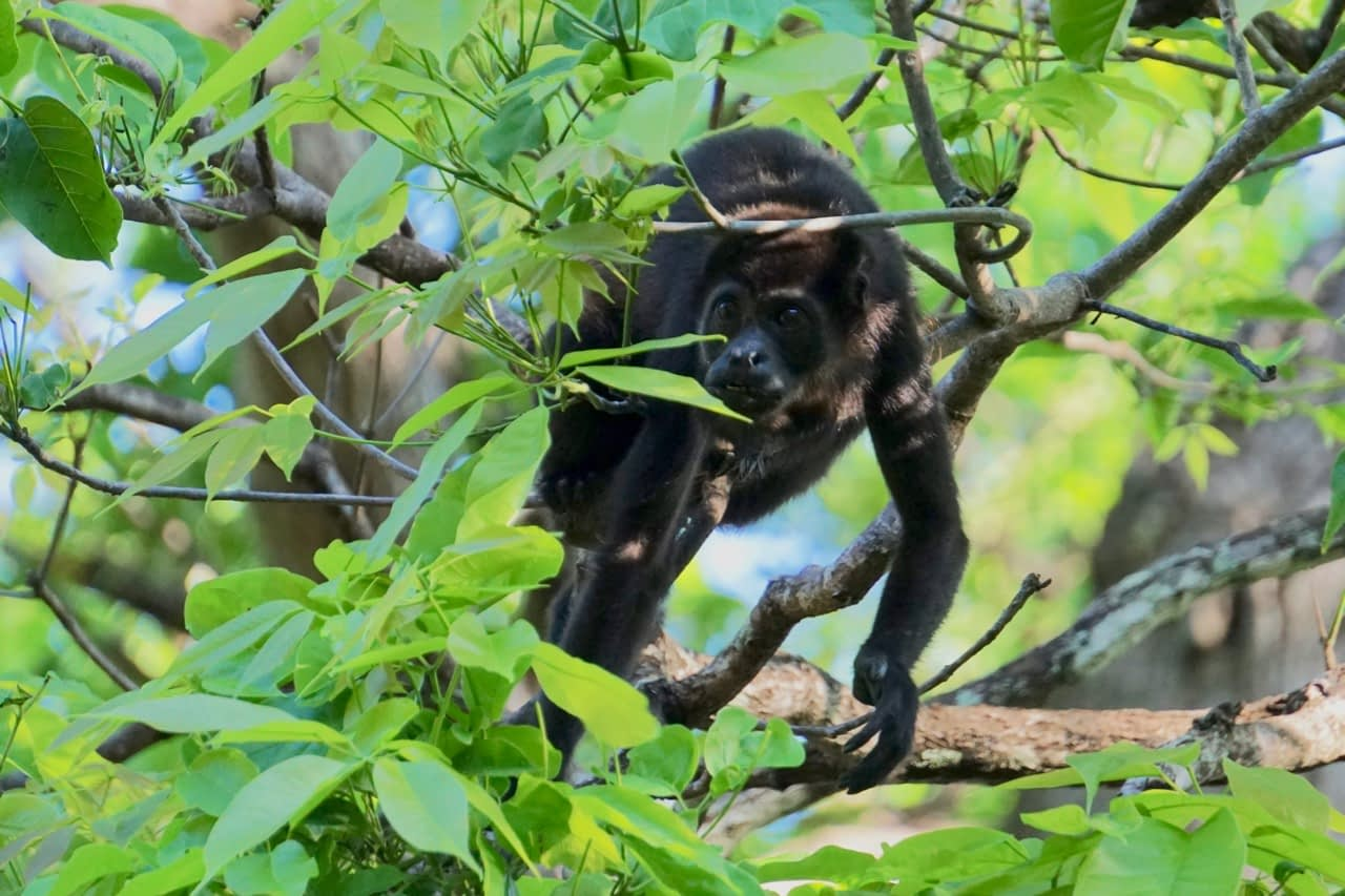 howler monkey in tamarindo